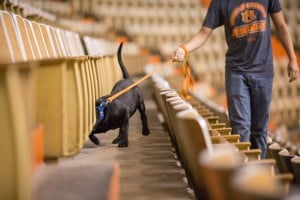 """The dogs being trained at the College of Veterinary Medicine at Auburn University must have """"high hunt,"""" meaning their noses are always stimulating them to investigate. The dogs, all Labrador Retrievers, need to be attentive and able to work in any environment. Here, they are being tested in the lab and in the field."""